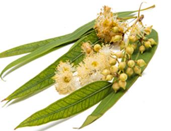 Huile essentielle eucalyptus citronné bio