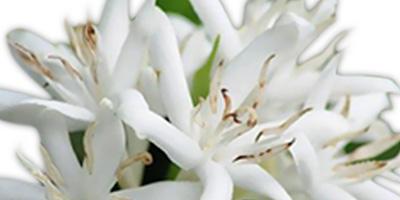 Fleur de caféier bougie artisanale