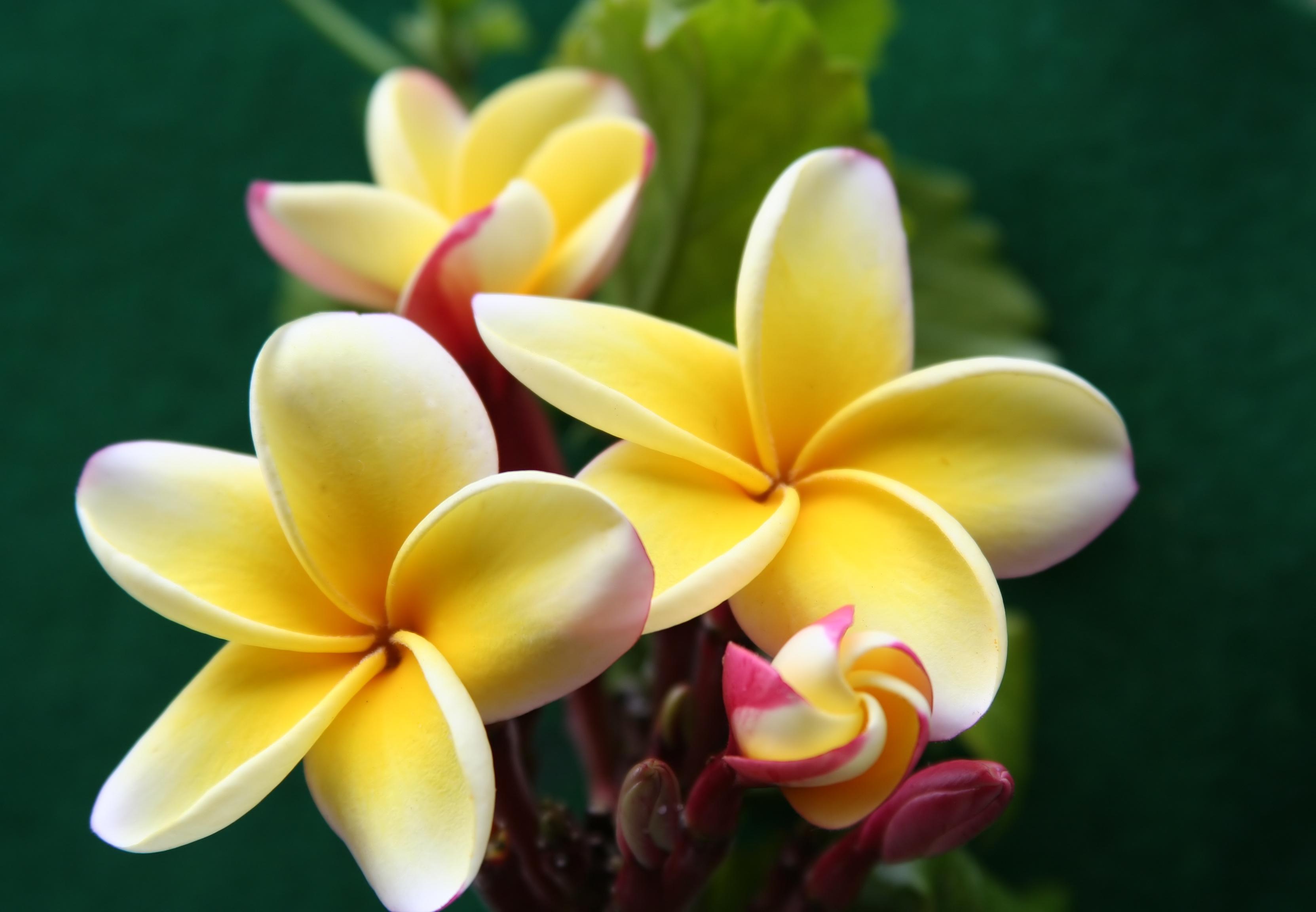 Bougie parfumée fleur de frangipanier