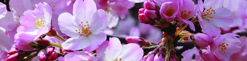 Fondants parfumés pour brule parfum fleur de cerisier