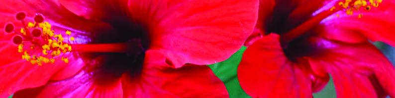 Galets de cires parfumée à l'hibiscus