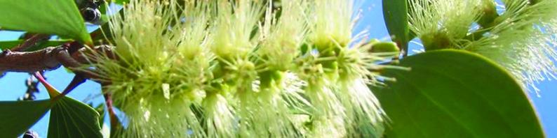 Cire parfumée a l'huile essentielle de Niaouli