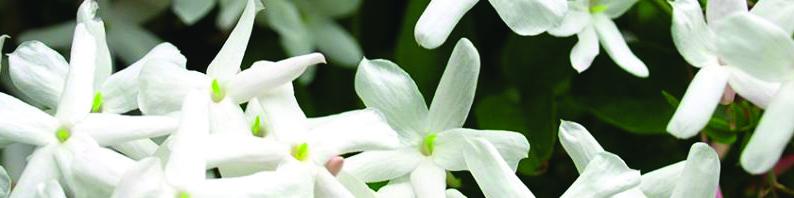 Cires parfumées à fondre jasmin