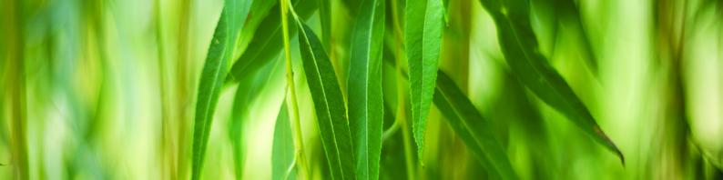 Huile essentielle d'Eucalyptus globulus utilisation