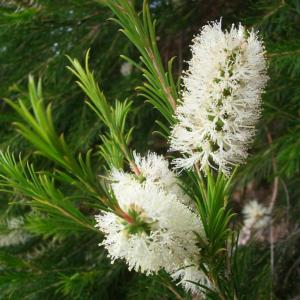 Huile essentielle de tee tree utilisation