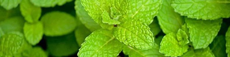 Huile essentielle de menthe poivrée utilisation